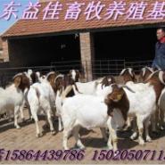 山东益佳畜牧养殖基地-牛羊最新价图片
