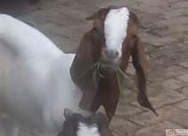 供应5000只波尔山羊
