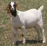 波尔山羊的培育措施