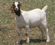 波尔山羊的图片/波尔山羊的样板图 (1)
