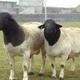 供应山西杜泊羊