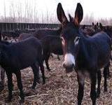 供应山西德州驴肉驴养殖,专业山西德州驴肉驴养殖
