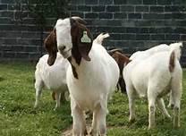 供应安徽波尔山羊