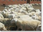 小尾寒羊常用饲草料