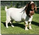 宝鸡波尔山羊养殖图片/宝鸡波尔山羊养殖样板图 (1)