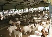 黑龙江波尔山羊养殖