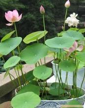 供应荷花苗水生花卉种苗荷花种植芦苇苗图片