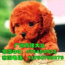 供应泰迪熊 广州泰迪熊价格 广州泰迪熊价位 广州泰迪熊图片