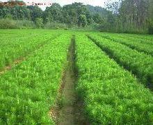 供应出售各种绿化苗木黄花梨沉香苗批发