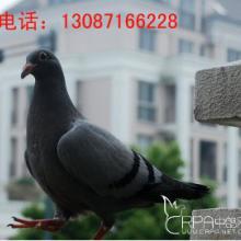 供应伊春青年鸽价格