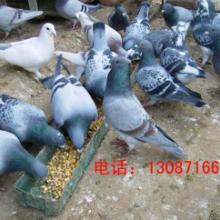 供应大量供应种鸽