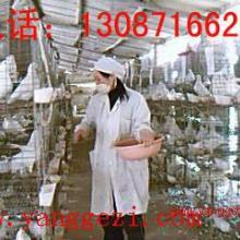 供应大量供应种鸽长春