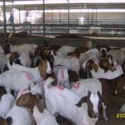 四川波尔山羊的发展趋势图片
