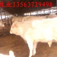 琦源牧业夏洛莱牛供应
