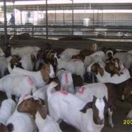 波尔山羊的主要饲料是什么图片