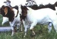 供应波尔山羊种羊饲养管理要点图片