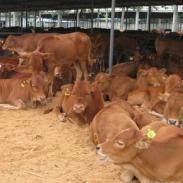 山东哪里有大型肉牛养殖场图片