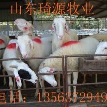 供应小尾寒羊的生理周期