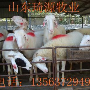 波尔山羊哪里有卖图片