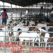 养殖波尔山羊的效益图片