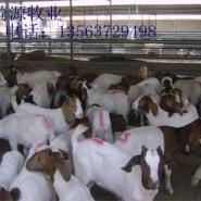 改良波尔山羊养殖技术图片