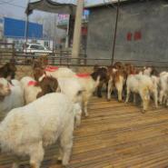 波尔山羊1-3代肉羊苗价格图片