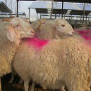 绵羊羊种小尾寒羊羊苗波尔山羊羊羔图片