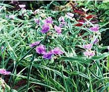 营养钵宿根花卉