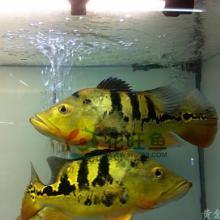 供应热带鱼观赏鱼水族宠物多纹虎三纹虎批发