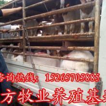 供应小肉羊母羊种羊波尔山羊小尾寒羊育肥小山羊山东东方牧业批发