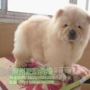 广州哪里出售纯种的松狮犬图片