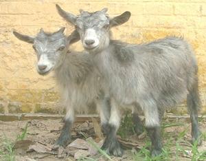 波尔山羊羊苗养殖场图片