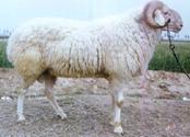 供应鲁西南小尾寒羊,波尔山羊,黑山羊,白山羊,鲁西黄牛,西门塔尔牛。