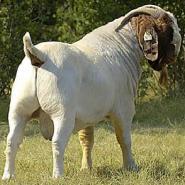 大型波尔山羊养殖场图片