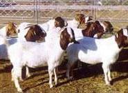 育肥羊养殖技术图片