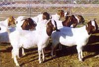 供应肉羊,波尔山羊,小尾寒羊,白山羊,黑山羊,西门塔尔牛。