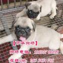 广州哪里有卖巴哥犬图片