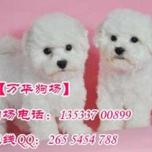 广州正规的狗场 广州哪里有卖比熊犬 广州比熊犬哪里有卖图片