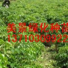 供应种苗-广州种苗那里有卖,供应苗木-广州种苗,种苗价格,苗木那里有
