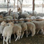 牛羊养殖山东万嘉畜牧养殖繁育图片