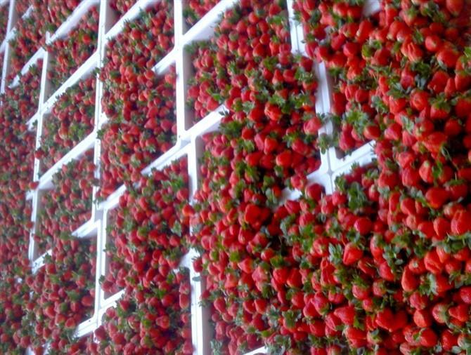 供应新鲜水果草莓