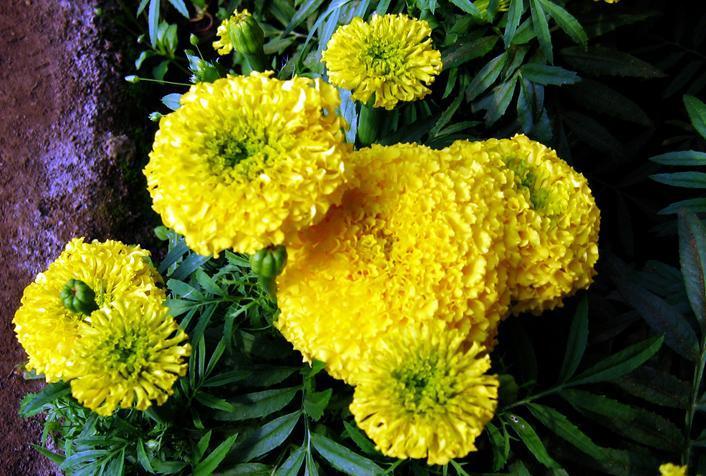 供应万寿菊种子,色素万寿菊种子,万寿菊种子价格