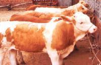 供应科学饲喂养牛