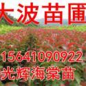 内蒙123苹果苗图片