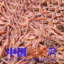 供应粉红色鲜活蚯蚓