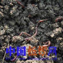 供应垂钓用蚯蚓