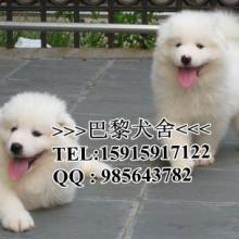 供应广州萨摩犬广州哪里有卖萨摩雪橇犬纯白色微笑天使萨摩耶批发