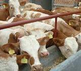 供应出售西门塔尔牛奶公牛育肥牛牛苗