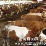 供应奶公牛