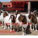 供应波尔山羊好养殖吗波尔山羊效益分析